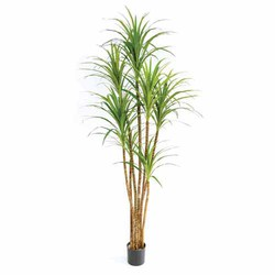 Green/Red 5'H Dracaena Marginata Tree X 7 w/219 Lvs in Pot