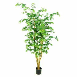 Green 5'H Maple Multi-Tree w/528 Lvs in Pot