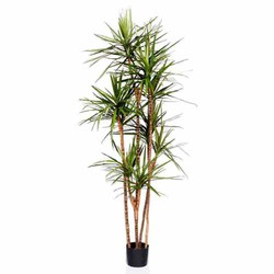 Green/Red 6'H Dracaena Marginata Tree X 5 in Plastic Pot