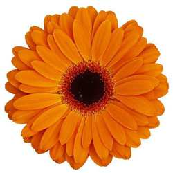 Gerbera Dutch Pride